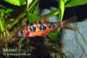 Rhombenbarbe, Barbus rhomboocellatus – Bild 2