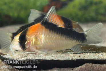 Kupferfleck-Panzerwels, Corydoras duplicareus