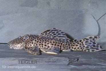 Leopard-Rüsselzahnwelse, Leporacanthicus heterodon, L172B