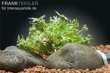 Fluss-Hahnenfuß, Ranunculus inundatus, In Vitro Portion
