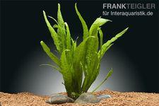 Schmalblättriger Javafarn, Microsorium pteropus Narrow Leaf, Topf