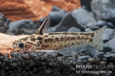 """Trugdornwels """"Woodcat"""", Trachelyichthys exilis"""