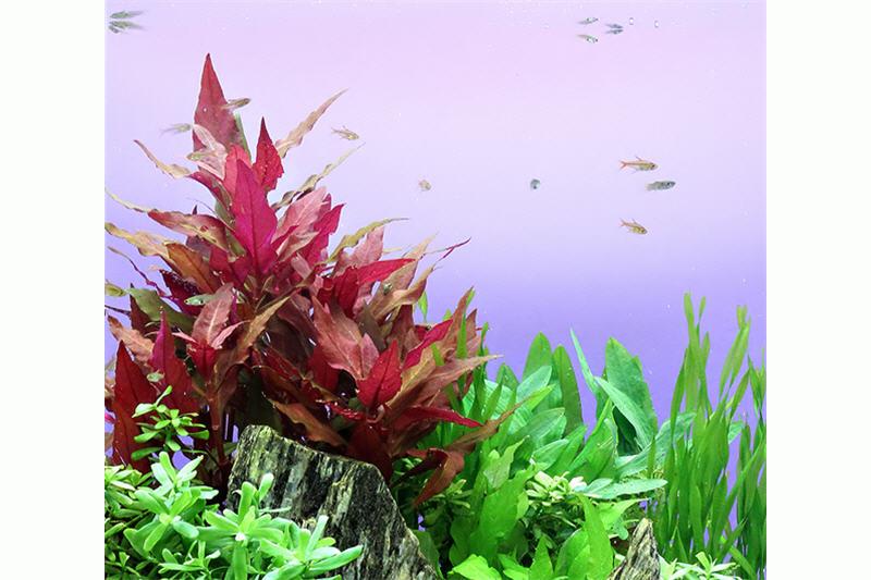 dunkelrotes papageienblatt alternanthera reineckii rot topf aquariumpflanzen bundpflanzen t pfe. Black Bedroom Furniture Sets. Home Design Ideas