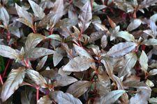 Dunkelrotes Papageienblatt, Alternanthera reineckii rot, Topf – Bild 4