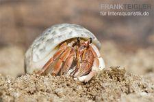 5 kleine Landeinsiedlerkrebse, Coenobita spec. – Bild 2