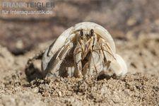 5 kleine Landeinsiedlerkrebse, Coenobita spec. – Bild 4