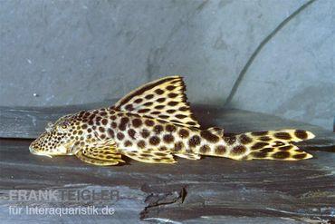 Leopard-Trugschilderwels, L 75, Ancistomus cf. sabaji, 7-10