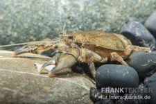 Krabbenkrebs, Aegla platensis – Bild 1