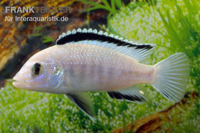 Weisser labidochromis labidochromis caeruleus white tiere for Lebendfutter zierfische