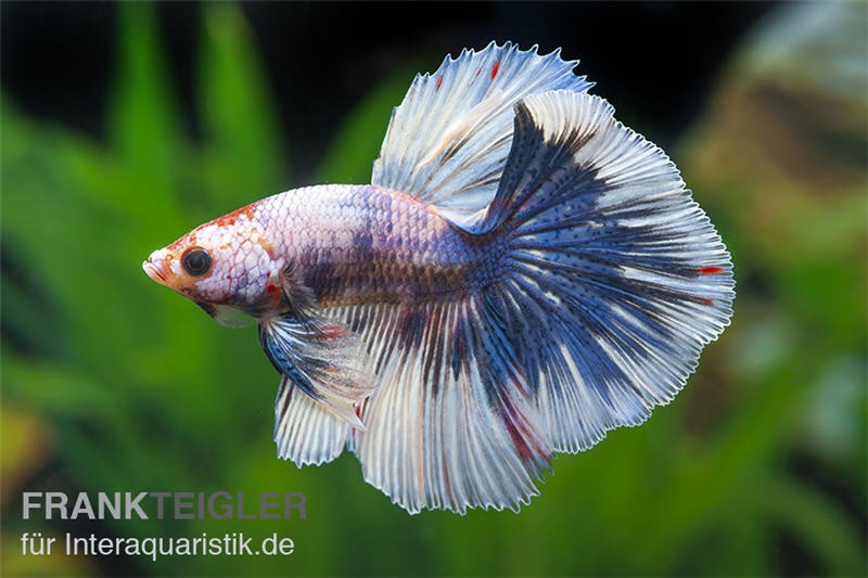 Halfmoon kampffisch multi color m nnchen betta splendens for Kampffisch zucht