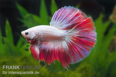 Halfmoon Kampffisch Multi Color, Männchen, Betta splendens – Bild 1