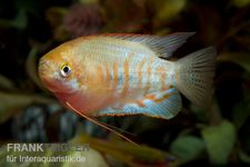 Gestreifter Fadenfisch, Colisa fasciata