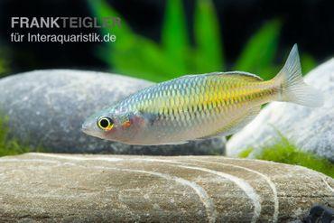 Boesemans Regenbogenfisch gelb, Melanotaenia boesemani YELLOW, 3-5 cm – Bild 1