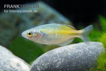 Boesemans Regenbogenfisch gelb, Melanotaenia boesemani YELLOW, 3-5 cm – Bild 2