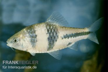 Schwarzbandbarbe, Barbus lateristriga – Bild 3