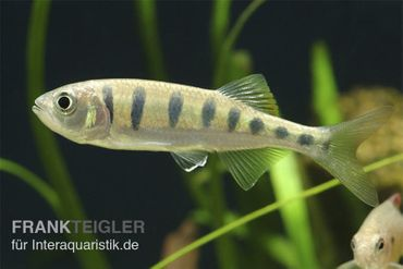 Makrelenbarbe, Barilius pulchellus/Opsarius pulchellus – Bild 1