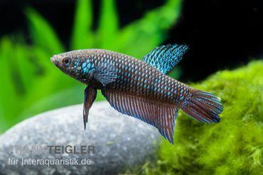 Smaragd-Kampffisch, Betta smaragdina – Bild 1