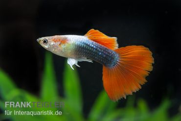 Guppy Männchen neonblau-rot, Poecilia reticulata