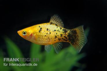 Gelber Calico Platy, Xiphophorus maculatus – Bild 2