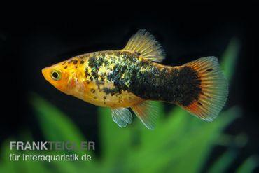 Gelber Calico Platy, Xiphophorus maculatus – Bild 1