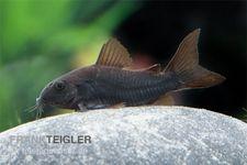 Schwarzer Metallpanzerwels, Corydoras aeneus BLACK VENEZUELA, DNZ! – Bild 2