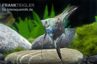 Skalar Philippine Blue Smokey, Pterophyllum scalare