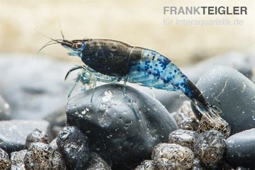 Blue Rili Shrimp, Neocaridina davidi – Bild 1