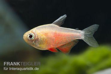 Roter von Rio orange, Hyphessobrycon flammeus, DNZ