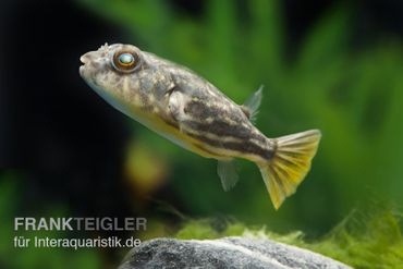 Nilkugelfisch, Tetraodon fahaka (lineatus),3-5cm – Bild 1