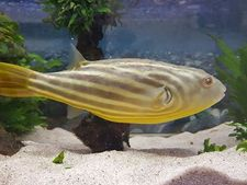 Nilkugelfisch, Tetraodon fahaka (lineatus),3-5cm – Bild 4