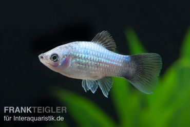 Blauer Wagtail-Platy, Xiphophorus maculatus
