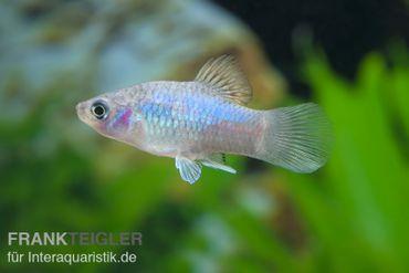 Blauer Platy, Xiphophorus maculatus – Bild 1