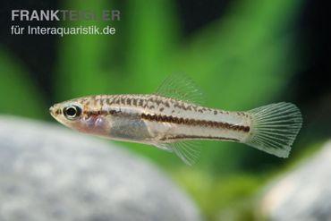 Zwergschwertträger, Xiphophorus pygmaeus  – Bild 2
