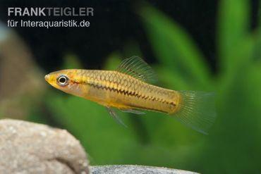 Zwergschwertträger, Xiphophorus pygmaeus  – Bild 1
