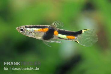 Endler Guppy Rio Oro, Poecilia wingei (Minifisch) – Bild 1