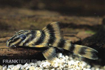 Rio Negro-Tigerharnischwels, L169, LDA1, Panaqolus sp., 3-4 cm – Bild 2