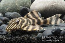 Rio Negro-Tigerharnischwels, L169, LDA1, Panaqolus sp., 3-4 cm – Bild 1