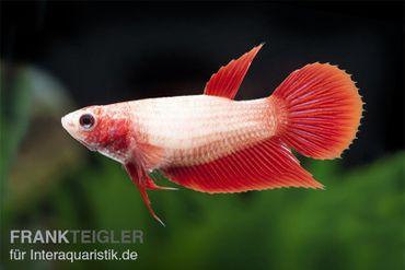 Halfmoon Kampffisch rot, Weibchen, Betta splendens – Bild 1