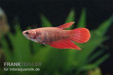 Halfmoon Kampffisch rot, Weibchen, Betta splendens – Bild 2