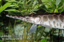 Gefleckter Knochenhecht, Kaimanfisch, Lepisosteus oculatus