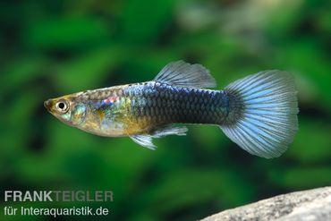 Guppy Männchen blau dark, Poecilia reticulata – Bild 1