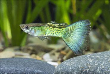 Guppy Männchen blau Mosaiktail, Poecilia reticulata