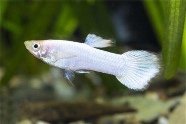 Guppy Männchen platinum white, Poecilia reticulata – Bild 1