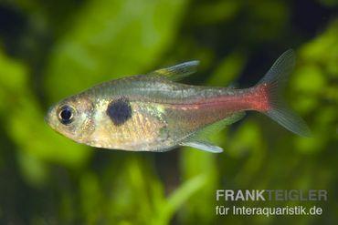 Gelber Phantomsalmler, Hyphessobrycon roseus – Bild 1