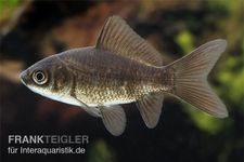 Goldfisch schwarz, Carassius auratus (Kaltwasser)