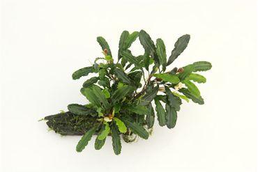 "Bucephalandra spec. ""Wavy Leaf"" auf Mangrovenholz, 1 Stück – Bild 2"