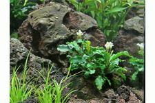 "Bucephalandra spec. ""Wavy Leaf"" auf Mangrovenholz, 1 Stück – Bild 5"