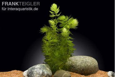 Gemeines Hornblatt, Hornkraut, Ceratophyllum demersum
