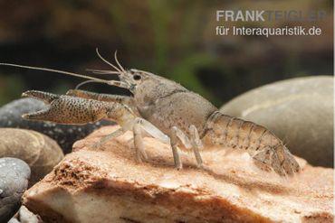 Flusskrebs, Procambarus vasquezae – Bild 1