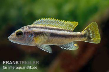 Chipoka Maulbrüter, Melanochromis chipokae, DNZ